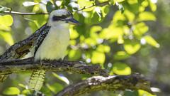 Kookaburra (jsnowy2768) Tags: kookaburra bird terrestrialtreekingfisher dacelo laughingkookaburra kingfisher tree gumtree bushland northmaleny queensland australia