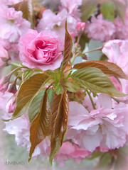 Japanese Cherry tree blossom... (clevernails) Tags: cherry tree blossom flower romantic pink leaves macro composition love spring memory garden frame beautiful