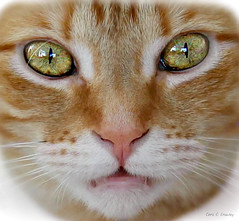 WHAT?! (Chris C. Crowley- Editing for the next month or so) Tags: what freja cat female feline kitty whiskers pet pinknose brighteyes greeneyes