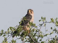 African Hobby -Falco cuvierii (rosebudl1959) Tags: 2017 botswana centralkalaharigamereserve africanhobby