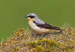 Male Northern Wheatear  ( Oenanthe oenanthe) -  A plea to every one of you !! (Clive Brown 72) Tags: uplands migrant illegaltrapping wheatear please chat petition makeadifference chrispackham songbirds migrants birdsofprey