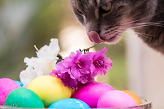 Caturday Easter Greetings from Max (Irina1010) Tags: max cat pet eggs easter eastereggs flowers azaleas colorful caturday bokeh canon
