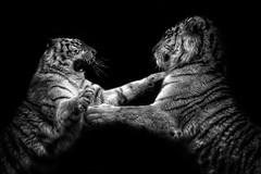 Tiger Fight - Amur Tigers, Dartmoor Zoo (Andrew3600) Tags: amurtiger dartmoor dartmoorzoo zoo blackwhite amur tiger