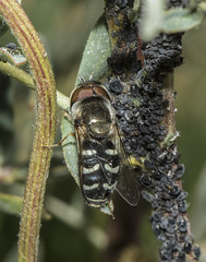 Flower Fly, Scaeva pyrastri, and Aphids (marlin harms) Tags: syrphidfly flowerfly scaevapyrastri