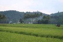 IMG_0174 (syafiqqzz) Tags: bukittinggi bukit tinggi padang west sumatra sumatera barat marapi singalang paddy