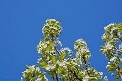 The Pear Tree in my backyard. (PhotoTJH) Tags: phototjh phototjhnl efflorescence blossom bloesem bloei bloeien flower flowers tree boom zon sun zonnig sunny clear sky heldere hemel natuur nature wit white green groen pear peren peer
