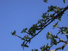 Patience, patience dans l'azur (Grand-Pappà...) Tags: pommier fleurs lobeç margeride marjarida massifcentral hauteloire hautesterres auvergne paulvaléry