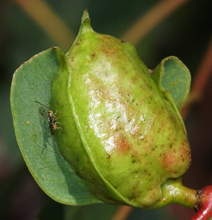 Tiny Gall Wasp female on River Gum,these are extremely small,from a metre away unseen,the gall is about as big as your thumb top joint.