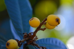 Berry Tree (npbiffar) Tags: outdoor tree fruit berry blue yellow npbiffar macro nikon d7100 150mm bokeh