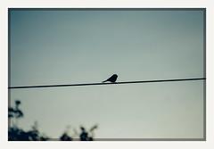 sing (chickentender™ (Eyewanders Foto)) Tags: bird chickadee eyewandersfoto k10d pentax silhouette wire