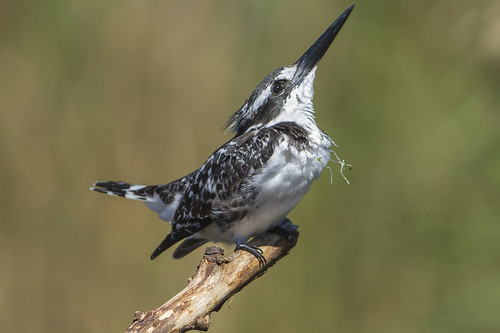 Pied Kingfisher , on Fishing Perch, with water weed attached to it's neck _6134