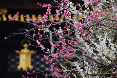 Ume plum (Teruhide Tomori) Tags: flower spring kyoto japon japan shrine plum ume tree kitanotenmangushrine 京都 春 梅 花 日本 北野天満宮