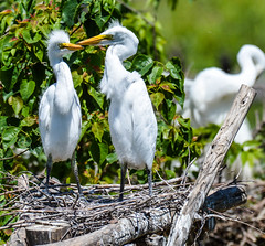 why fuss ?? (wesleybarr1962) Tags: egrets egretchicks highisland texas