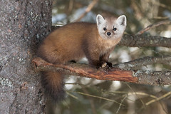 Pine Martin (NicoleW0000) Tags: pine marten wild wildlife photography animal carnivore