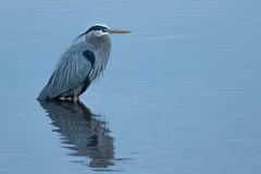 Blackwater Blue Hour Heron (Ken Krach Photography) Tags: blackwaternationalwildliferefuge greatblueheron