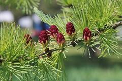 Larix laricina-15 (The Tree Library (TreeLib.ca)) Tags: tamarack larixlaricina