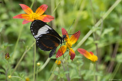 Butterfly 2017-19 (michaelramsdell1967) Tags: flowers color nature macro flower light animals closeup natural butterfly animal green insect vivid insects detail vibrant bug butterflies bugs upclose