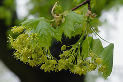 P4261326 (Paul Henegan) Tags: 32crop acersaccharum blossoms blur branchlets buds green leaves maple rainyday spring waterdroplets
