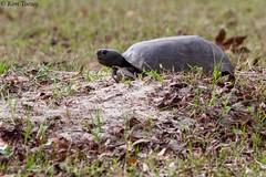 Gopher Tortoise (Gopherus polyphemus), Threatened Species - New Port Richey, Florida (Kim Toews Photography) Tags: tortoise canon400mmf56 florida fl usa threatenedspecies burrow outdoors wildlife nature animal reptile gopheruspolyphemus gophertortoise