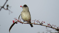 Photo of Blackcap with berries 1b