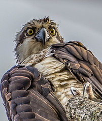 A Real Looker... (anthonyvanschoor) Tags: osprey howardcountymd howardcountybirdclub nikond7100 tamron150600mmtelephotolens birdofprey raptor s johnsons fauna high quality images only gold class nature gallery auto focus