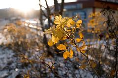 Marrasruusu (salligrafia) Tags: rose plant light valo ruusu syksy autumn fall