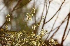 trees and patches of open sunlight (1crzqbn) Tags: flora sunlight flowers trees sliderssunday texture nature plum spring depthoffield dof garden bokeh sun light naturaleza