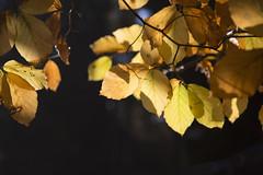 Quelques belles couleurs (Marc Fievet) Tags: saison saisons automne arbres arbustes bois feuilles feuille couleurs couleur beauté hiver parade parures nature belgique promenade canoneos5dmarkiii canon eos 5d