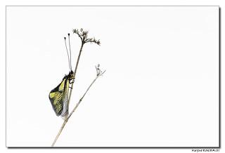 Ascalaphe soufré - Libelloides coccajus #3