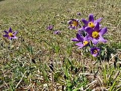 Kuhschellenblüte in der Eifel (mama knipst!) Tags: kuhschelle wildblume wildflower frühling spring natur deutschland germany allemagne