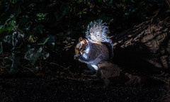 (C G G) Tags: animals nature squirrel england picture shoot sony night trees