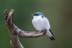 White Winged Swallow-2996.jpg (donnatopham) Tags: amazonia peru whitewingedswallow