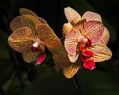 Orchid Delight (MrBlueSky*) Tags: orchid flower petal garden horticulture plant nature colour red ngc aficionados pentax pentaxart pentaxlife pentaxk1 pentaxawards pentaxflickraward london kew gardens royalbotanicgardens kewgardens