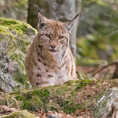 Lynx lynx - Euraziatische lynx (wimberlijn) Tags: lynxlynx euraziatischelynx lynx beiersewoud bayerischerwald nationalparkzentrumlusen luchs bavarianforest nature wildlife animal outdoor