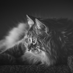 Will Hunting (jm atkinson) Tags: purple maine coon kitty cat d700 105mm