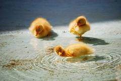 Dewey, Huey and Louie (Veijo Toivoniemi) Tags: duck little funny bird birds hilarious