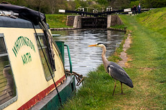 170416 Marswoth - Heron (stevebell) Tags: grandunioncanal canal narrowboat heron bird whitingtonmyth towpath locks lockgates water marswoth moorings ©stevebell