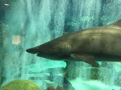 Sand Tiger Shark (HockeyholicAZ) Tags: odysea aquarium captive husbandry animal fish aquatic zoo arizona usa america tribal income revenue tourist attraction desert scottsdale