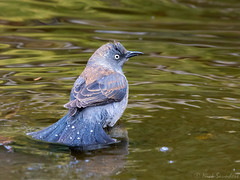 Rusty Blackbird (Nick Saunders) Tags: rustyblackbird rusty blackbird water pond bath bathing bathe saskatchewan spring bird birding birds decline rare