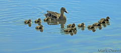 A proud mom.. (mark owens2009) Tags: ducks babies tennessee city ducklings
