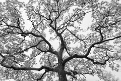 Ramifications (George Pancescu) Tags: nikon d810 1635mm scotland glencoe tree nature natural branc branches trunk monochrome blackandwhite