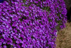Purple Beauties - Aubretia (Adam Swaine) Tags: purplegreen flowers flora naturelovers nature kent churches village canon england english macro aubretia
