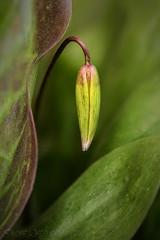 Impending Bloom (EXPLORED) (SkyeWeasel) Tags: dogtoothviolet erythronium flower bloom bud spring macro plant garden