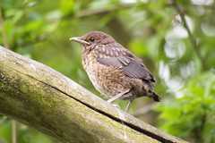 First baby of the season :) (Kay Musk) Tags: blackbird turdusmerula juvenile baby spring wildlife wild nature nikond3200 essex uk ngc