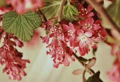 Zierjohannisbeere (silkebahr) Tags: zierstrauch blüten natur outdoor frühling spring