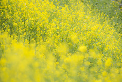 yellow world (20EURO) Tags: spring flower yellow bright warm sunlight season change nature landscape grass blossoms rapeblossoms fun walk weekend holiday 菜の花 canon eos beautiful photograph 黄色 明るい canoneos5dmarkⅲ 散歩 春 夢 green 直物 plant wind 風 japan tokyo 日本 東京 皇居 お堀
