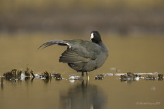 Spread your wings- American Coot Style (Chantal Jacques Photography) Tags: spreadyourwings americancoot wildandfree bokeh nature wildlife display plumagedisplay plumage