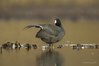 Spread your wings- American Coot Style