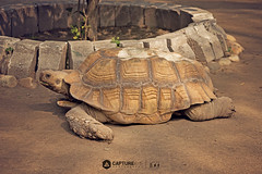 African Spurred Tortoise (Everything has beauty, but not everyone sees it...) Tags: africanspurredtortoise lahorezoo africantortoise tortoise animal pujab lahore zoo nikond3200 nikon d3200 nikkor1855mm 1855mm caputreaye imransphotos imrananwar pakistaniphotographer pakistan