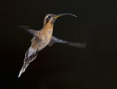 Little Hermit Hummingbird, Yerette Hummingbird Sanctuary, San Jose de Oruña-Maracas, Trinidad. (pedro lastra) Tags: winner alt